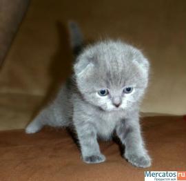 Клубные шотландские котята, фото Скоттиш фолд (шотландская вислоухая)