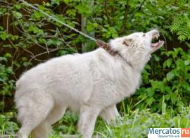 Мареммо-абруцкая овчарка (подростки для охраны)