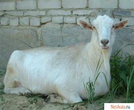 козы и козлики