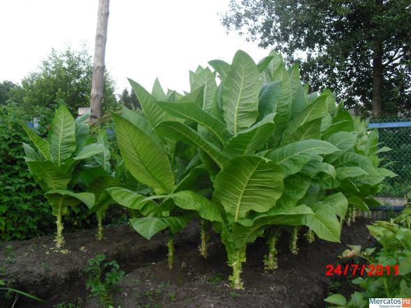 Технология выращивания табака на огороде 2