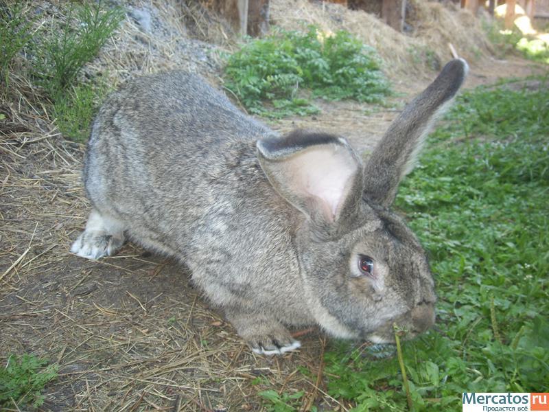 ботов для кролик фландр купить в спб цена аренде улице
