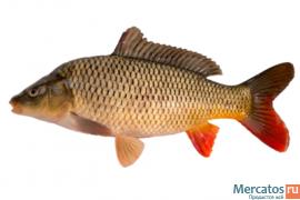 Живая рыба (карп) оптом