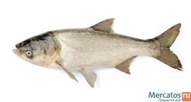 Живая рыба (толстолобик) оптом
