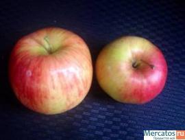 Яблоки поздних сортов от производителя оптом, со склада в Санкт-