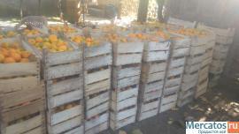 Абхазские мандарины прямо с плантации
